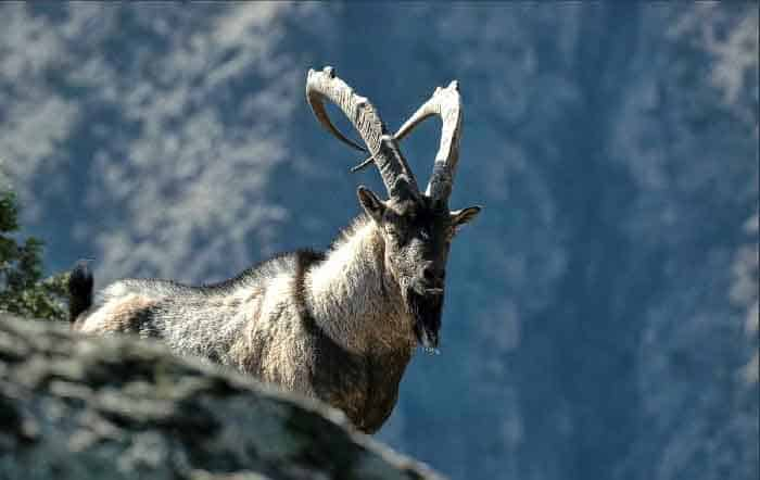 Բեզոարյան այծ Wild goat Безоаровый козёл